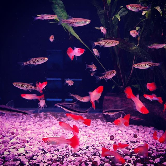 Cant Believe We Have Some Of These Runny Nose Guppies Left Still Guppies Aquariumcoop Runny Nose Guppy Runny