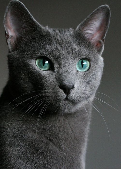 51 best images about Cat Breeds on Pinterest | Himalayan ... Russian Blue With Green Eyes
