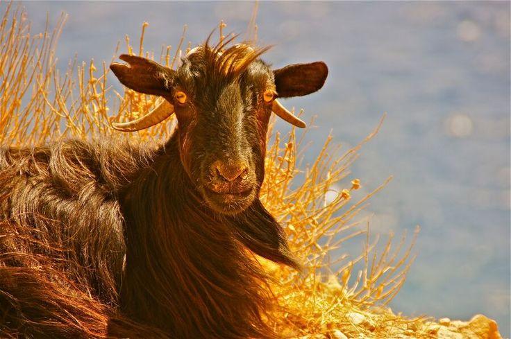#Crete goat