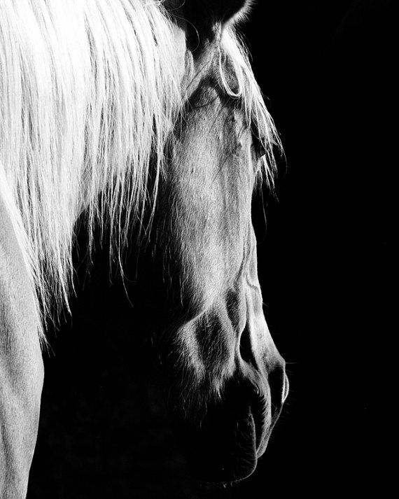 The evening light on this palomino mare was just beautiful, and black and white gives it such a silvery, shimmery quality. This large print will make a stunning statement as part of your home decor.    This equine fine art photograph will be professionally printed on Kodak Supra Endura paper in a lustre finish.    **Other Sizes Available**    5 x 7 $18  8 x 10 $30  11 x 14 $45
