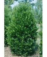 Emerald King™ Carolina Cherry Laurel (Prunus caroliniana 'Compacta 2') - Monrovia - Emerald King™ Carolina Cherry Laurel (Prunus caroliniana 'Compacta 2')