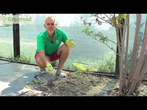 Вегетативное размножение ягодных культур осенью
