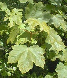 Bladeren van de gewone esdoorn (Acer pseudoplatanus)