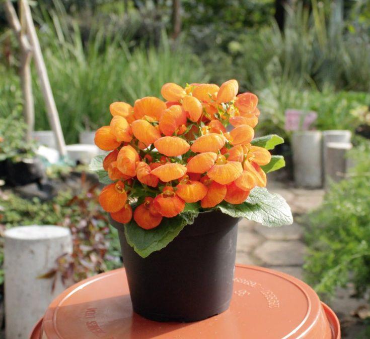 Las Calceolarias tienen flores habitualmente amarillas o anaranjadas, y pueden tener manchas rojas o púrpuras