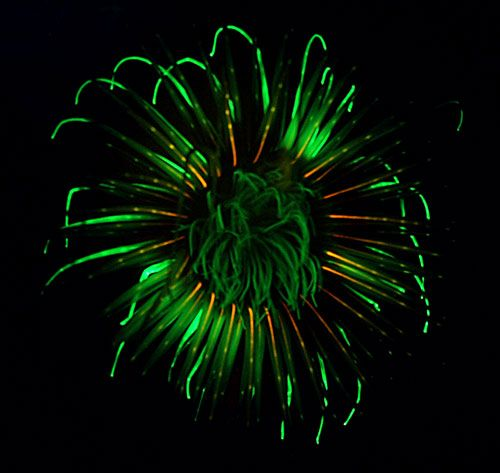 fluorescent anemone - Gallery - Glow-in-the-dark sea creatures light up the deep - Image 3 - New Scientist