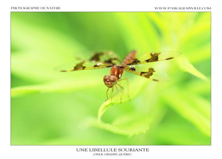Une libellule souriante Prise à Granby, Québec, Canada http://www.paskalrainville.com/