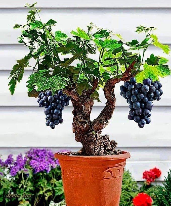 Miniature Grape Vine Seeds ★ PATIO SYRAH ★ Vitis Vinifera ★ Houseplant ★15 Seeds