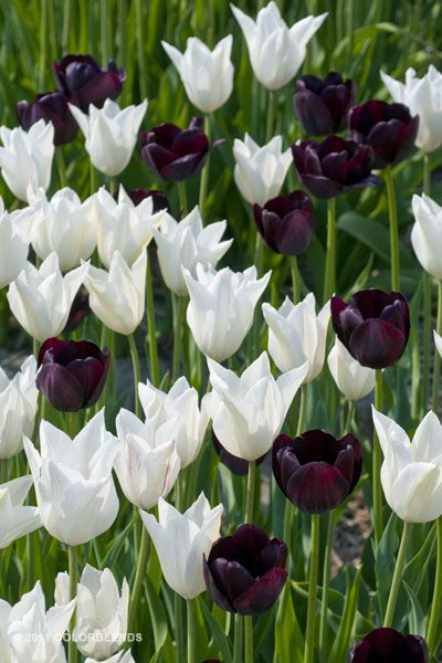 Tulip Black Tie ™ | Colorblends of Tulips Bulbs for Sale | COLORBLENDS