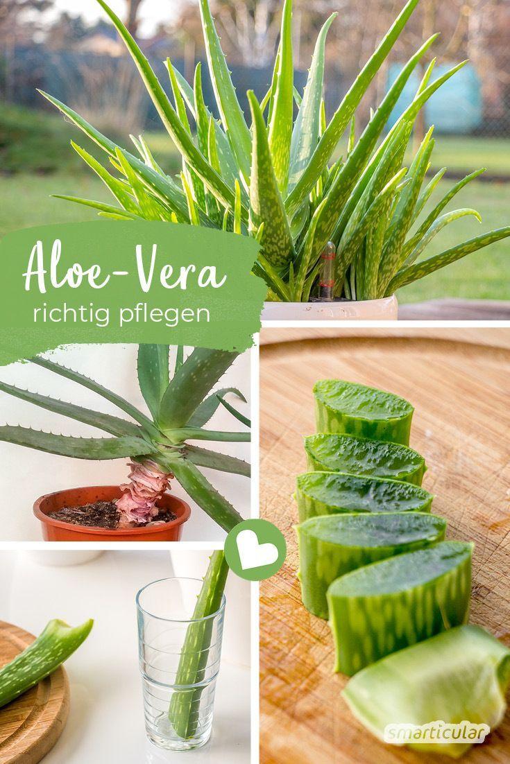 Aloe vera richtig pflegen, damit du immer frisches Gel hast
