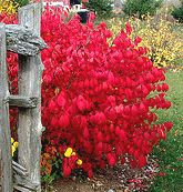 Burning Bush, 6 x 8. Dwarf variety is 4 x 4. Sensational accent or hedge desired for the one of the best intense scarlet red fall coloring. Interesting compact, mounded form displays attractive rich green leaves spring through summer. Deciduous.  The non compact 'Grandiflora' form gets 15 x 15.