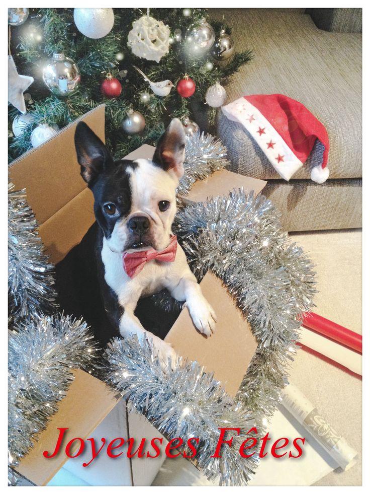 Boston Terrier dog Merry Christmas