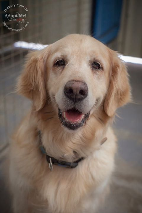 If you are seeking a Goldie to add to your family, here is the most elegant and graceful goldie girl I have ever had the pleasure to meet. I'm so surprised her family haven't come for her as she is in wonderful condition. She is safe with Golden Retriever | by Jo Lyons Photography
