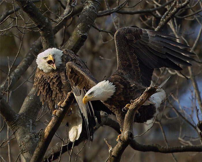 "~~ bald eagles by les zigurski ~~ mad eagle ""Oi watch your wings Phil or you're sleeping in another tree!"""