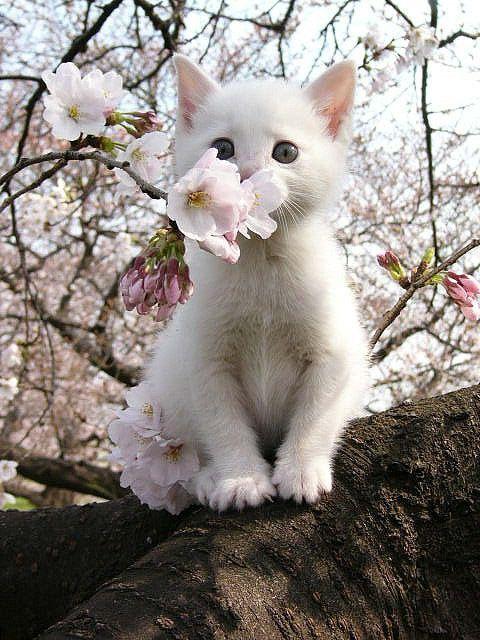 Springtime kitty <3: Cats, Animals, Kitty Cat, Pet, Kittens, Flower, White Cat