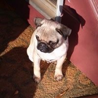 Southeast Pug Rescue & Adoption, Inc. (SEPRA) was formed in Georgia in 1990 to aid in placing lost, surrendered or abandoned pugs in loving, caring homes primarily in the Southeast (GA, FL, SC, TN, MO). Although, we will take any pug in need from any place.