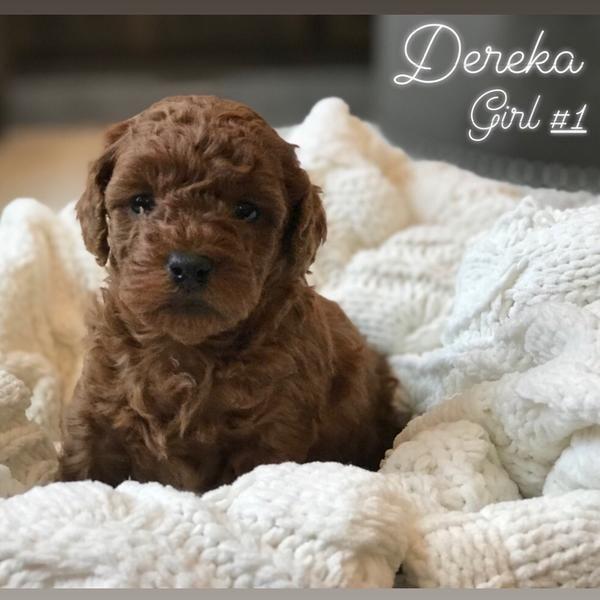Dark Red Curl Micro Mini Goldendoodle In 2020 Goldendoodle Mini