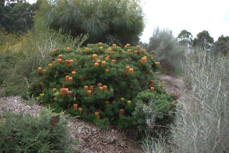 1406 best australian native gardens images on pinterest