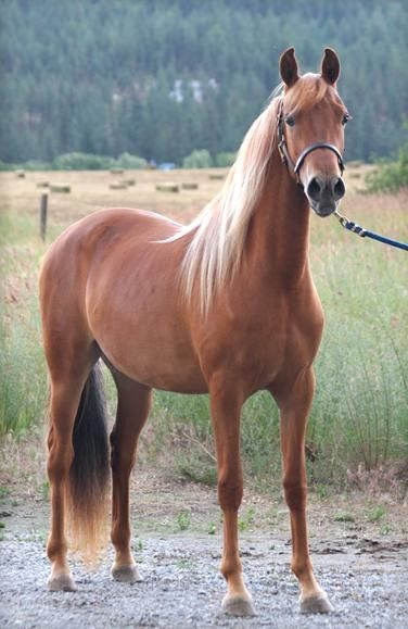 Morgan - JAZZTIME SOCIETY PAGE (Shiloh Bold Command X Frosty Blue), 2003 flaxen chestnut mare owned by Nancy Jewel, Jazztime Morgans, WA.