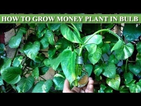 money plant in bulb | How to grow money plant in bulb | money plant growing| how… – Jardinería