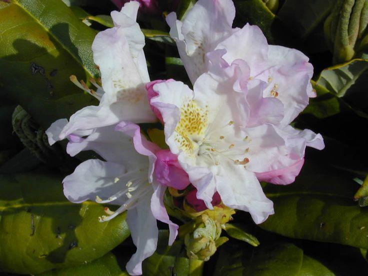 Rhododendron Mikkeli - Rhododendron Mikkeli