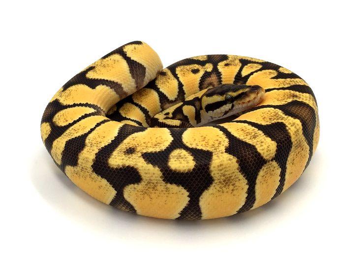 Python regius Enchi pastel