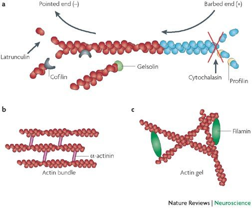 cytoskeleton in action Get information, facts, and pictures about cytoskeleton at encyclopediacom make research projects and school reports about cytoskeleton easy with credible articles from our free, online.
