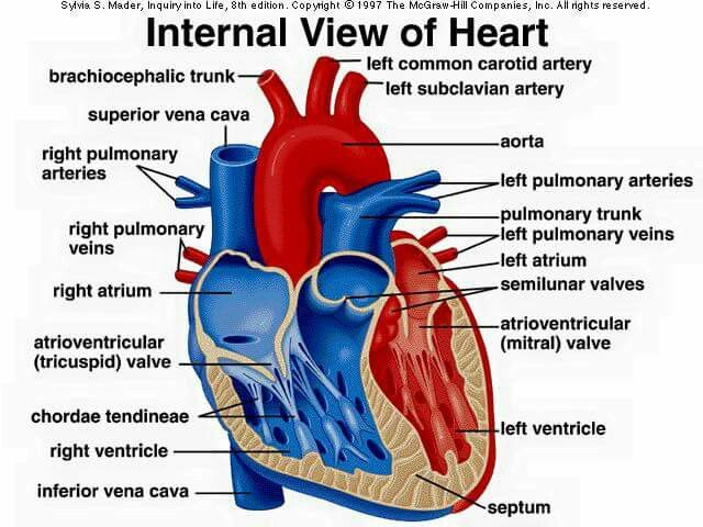 28 Best Circulatory System Images On Pinterest Anatomy