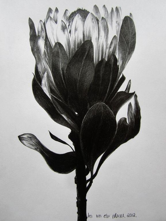 Protea Study V, Ira van der Merwe