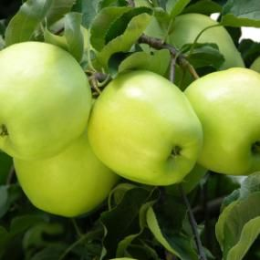 Stark Brothers Ginger Gold® Apple Tree
