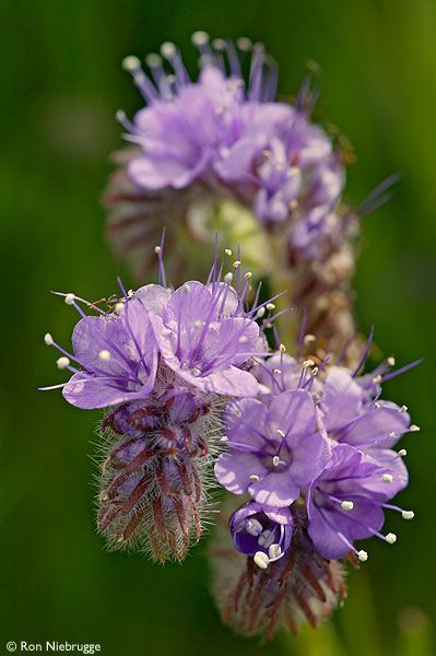 Pictures Of Flowers At Flowerinfo Org: Lace-Leaf Or Flat-Leaf Phacelia, Antelope Valley, Mojave