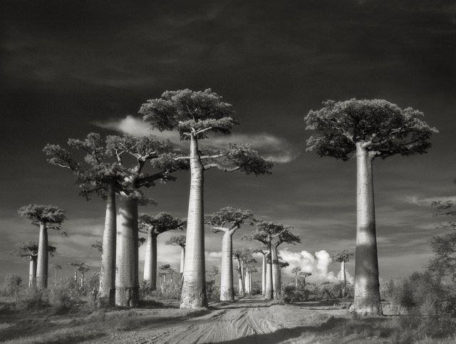"Avenue of the Baobabs taken in Morondava, Madagascar in 2006: Only found in Madagascar, these trees rise to nearly 100 ft (30 m) and are about 800 years old. They're also a great source of food, fiber, dye, rope, and fuel and appropriately known as renala, meaning ""mother of the forest"" in Malagasy."