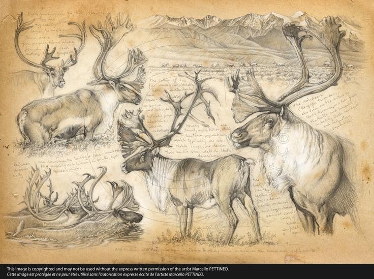 190 Caribou de montagne © marcello