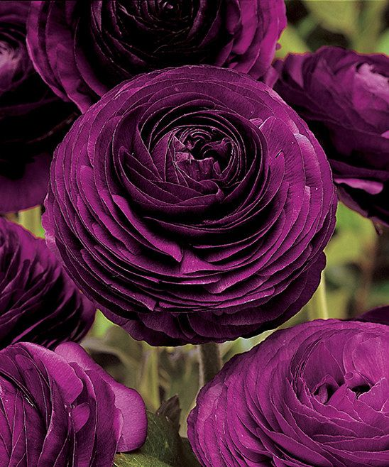 Purple Persian Buttercup Bulb - Set of 40 With huge, rose-like blooms and a dusky purple color, these regal flowers are suitable for borders and beds. One single bulb can produce dozens of blooms that look stunning in a floral arrangement.  Includes 40 bulbs Grows to approx. 12.5'' H Perennial Full sun exposure Grown in the Netherlands