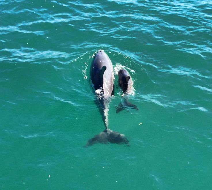 The latest Mandurah arrival, the baby dolphin was born in March 2014.