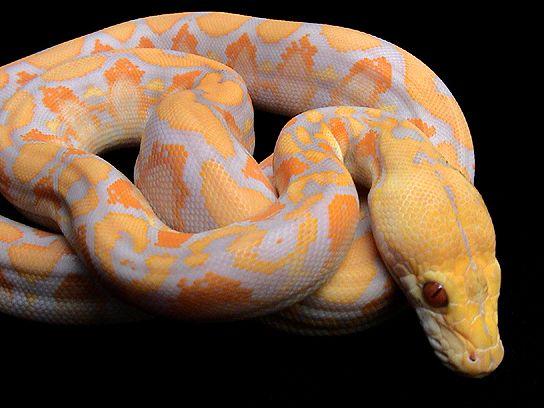 Lavender albino tiger reticulated python - photo#4