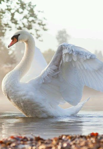Beautiful White Swan loveliness with wings spread landing in the water (or taking off)