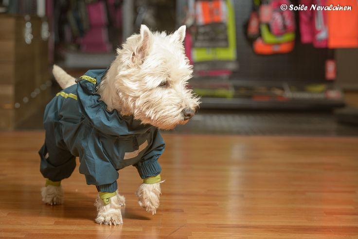 Onni testaa Hurtan Slush combat suit haalaria. #Hurtta #Autumn_design #Dog_wear