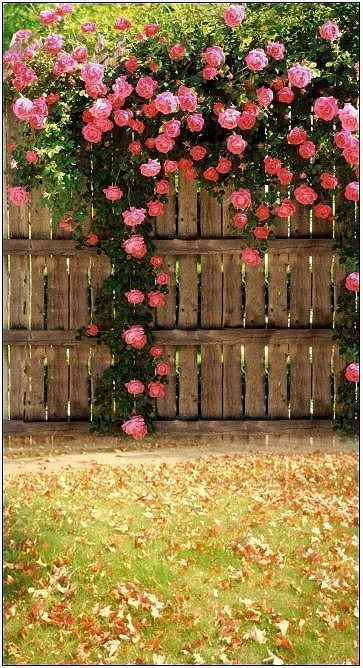 climbing roses - have to put up a fence the neighbors yard is gross.....