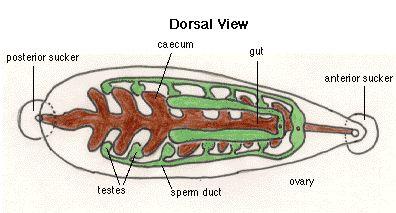 Anatomy of a leech