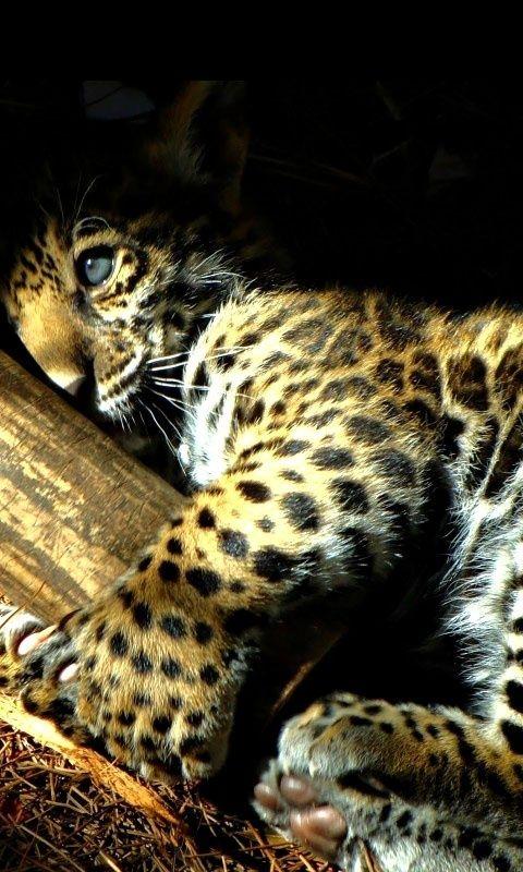 Un jaguar bebe que hermosho