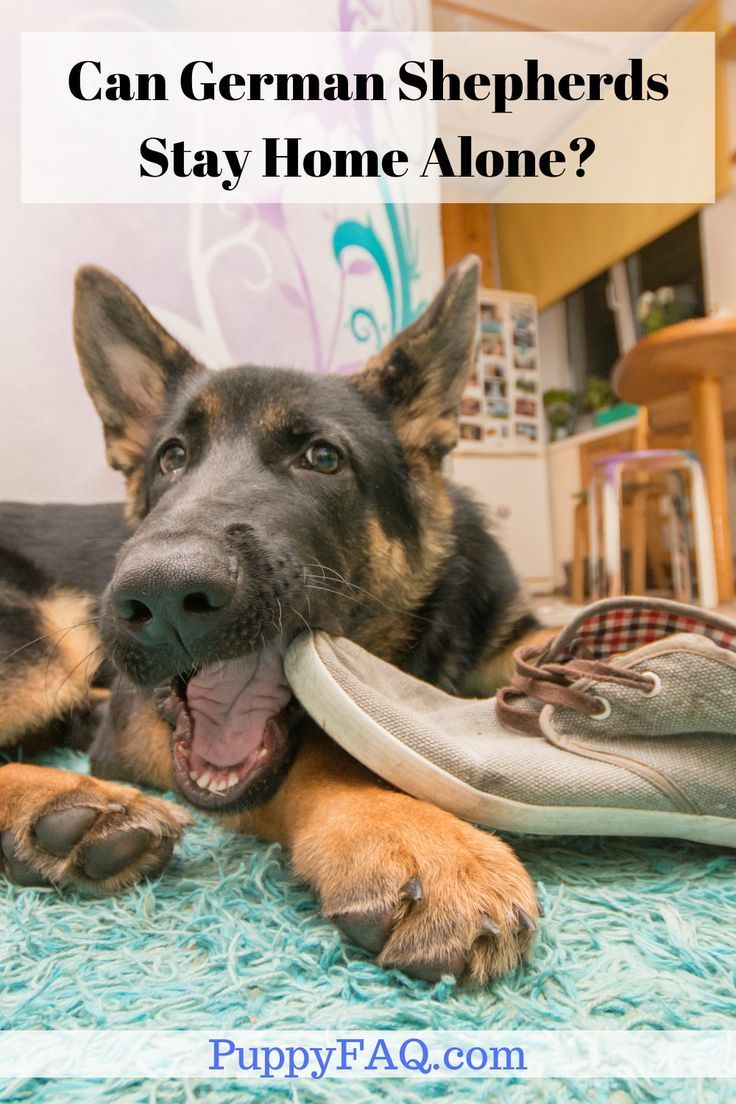 An Adult German Shepherd Can Stay Alone For 4 6 Hours While A