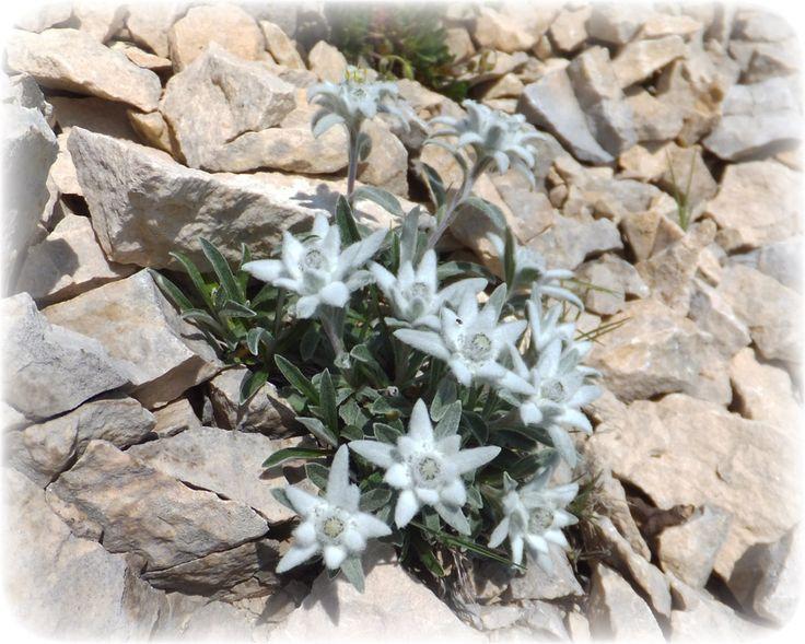 Risultati immagini per stella alpina