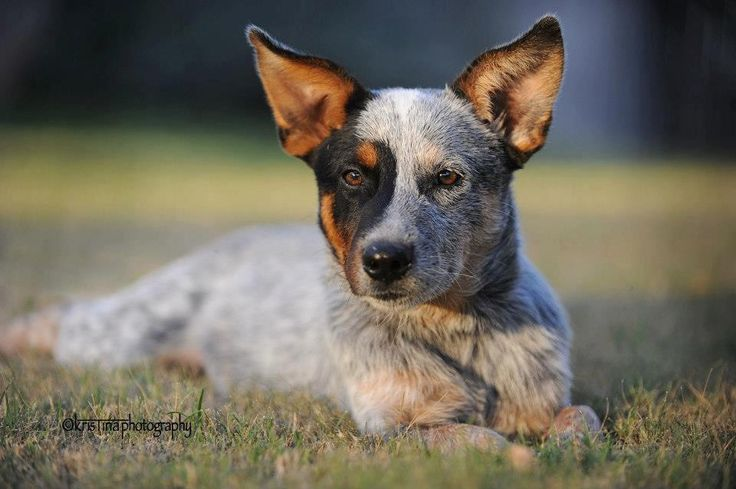 Pin By Mike Amp Christy R On Cattle Dogs Heelers Pinterest