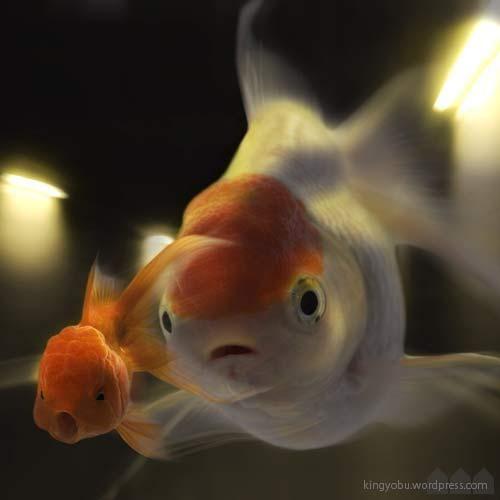 金魚 goldfish #Goldfish #Photomanipulation