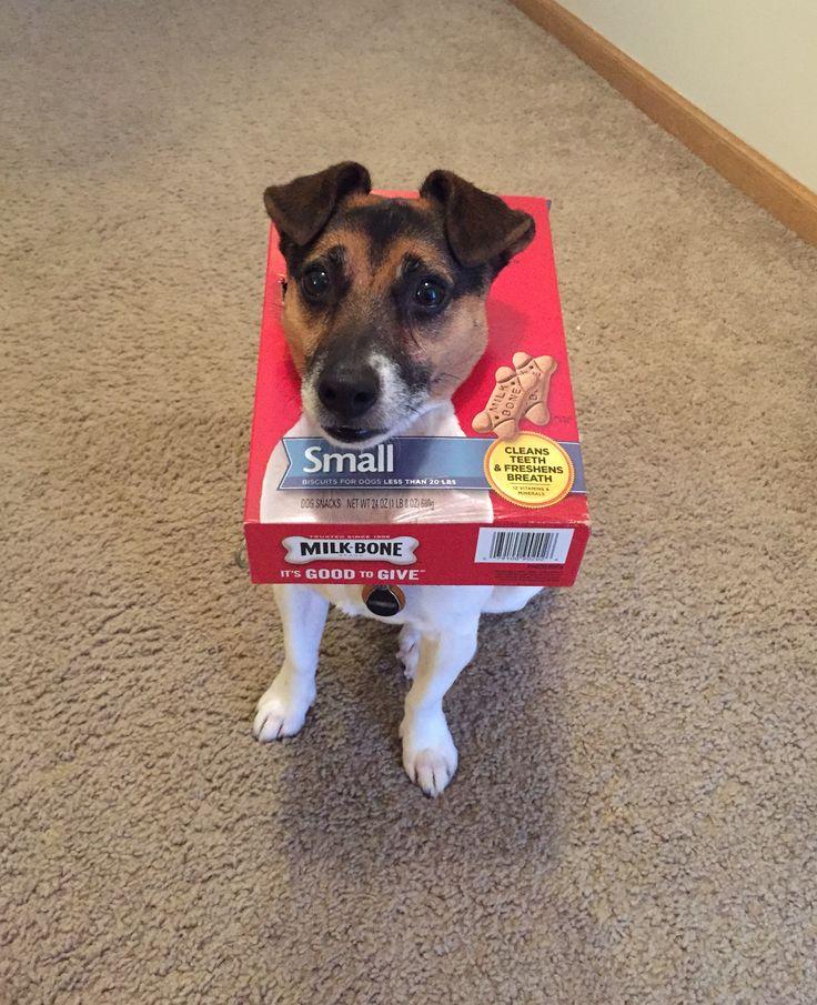 Jack Russell Terrier and milkbones.