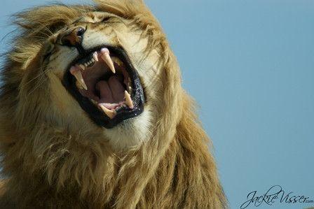Lion - Jukani - Western Cape