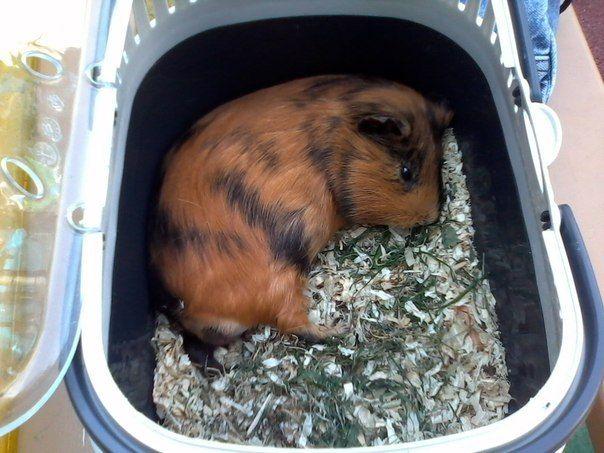 Морская свинка лежит в переноске