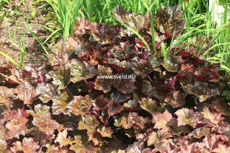 12. Heuchera micrantha 'Palace Purple'