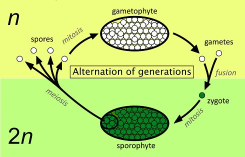 Alternation of generations simpler