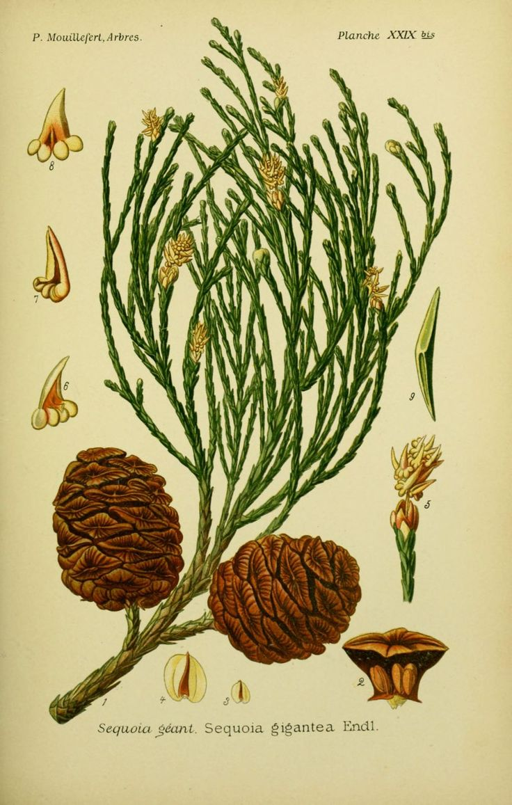 img/dessins arbres arbrisseaux/dessins arbres et arbrisseaux 0113 sequoia geant - sequoia gigantea.jpg